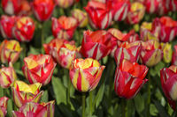 Salmon-pink Dutch tulips, Lisse, Bollenstreek, Netherlands
