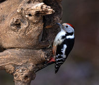 woodpecker; middle spottet woodpecker;