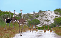 ostrich family at West Coast National Park, South Africa