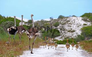 Straußenfamilie im West Coast Nationalpark, Südafrika, ostrich family at West Coast National Park, South Africa