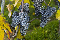 Kaolin coating on grapes as a natural pest control agent in organic cultivation,Switzerland