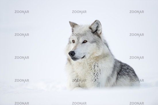 strong guy... Wolf *Canis lupus*