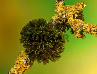 Moos; Schwanenhals-Sternmoos; Mnium hornum; moss;