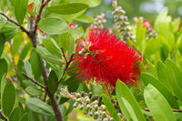 Pfeifenputzer Pflanze, Callistemon - blooming red Bottlebrush plant, Callistemon