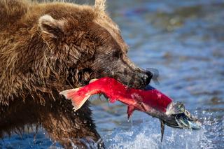 Braunbär mit rotem Lachs im Maul