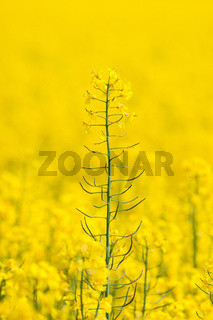 Rapeseed flower rising up on a field
