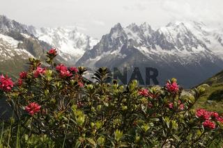 Wilde Alpenrose (Rhododendron) im Montblanc-Massiv bei Chamonix-Mont-Blanc