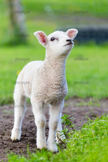 One white newborn lamb standing in green grass