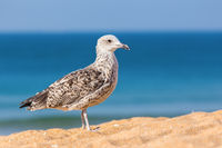 Young brown seagull on beach with sea