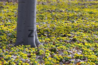 Buchenstaemme ( Fagus) in einem Teppich von gelben Windroeschen