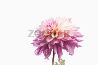 Eine rosa Dahlie (Dahlia) im Gegenlicht