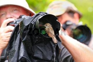 Friendly Galapagos flycatcher sitting on a lens hood, Santiago Island, Galapagos National Park, Ecuador