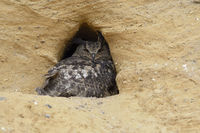 the old one... Eurasian Eagle Owl *Bubo bubo*
