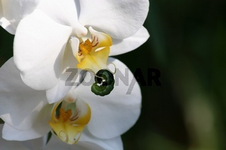 Weisse Orchideenbluete mit Raupe