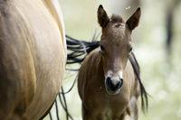 Pferd-Mischling