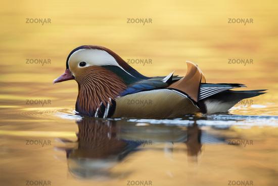 colourful male... Mandarin Duck *Aix galericulata*