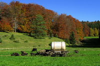 autumn landscape; swabian jura; swabian alps, swabian highlands; water buffalos;