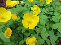 Japanese forest poppy in flower, Hylomecon japonica