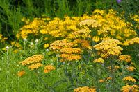 Garten-Schafgarbe in gelb - Fernleaf Yarrow in garden