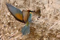 bee-eater feeding