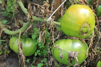 Green tomatoes growing on branches in arden 20563