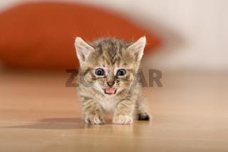 Kaetzchen schreit, Kitten crying
