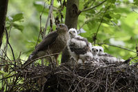adult female with grown up chicks... Sparrowhawk *Accipiter nisus*