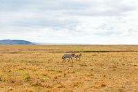 zebras grazing in savannah at africa