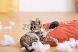 Katze Unart,  zerfetzt Kissen, cat bad habit, to frazzle a pillow