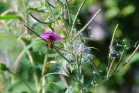 fireweed seed