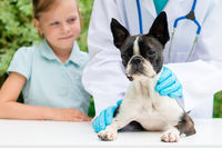 A veterinarian examining a little Boston Terrier dog in the presence of a young girl owner