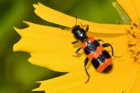common bee beetle