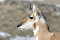 close-up of a buck... Pronghorn *Antilocapra americana*