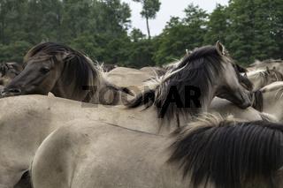 Soziale Kontaktpflege, wild lebende Pferde im Merfelder Bruch, Dülmen, Nordrhein-Westfalen, Juni,