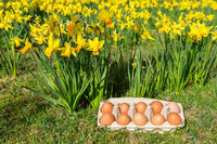 Eggs in box on grass with yellow daffodils