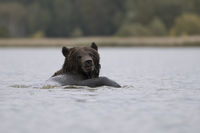 taking a bath... European Brown Bear *Ursus arctos*