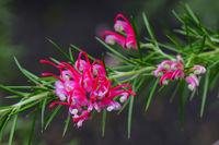 Rosmarinblättrige Grevillea ( Grevillea rosmarinifolia) Vorkomme