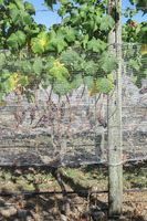 Bird netting protects grapes