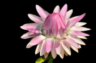 Gartenstrohblume