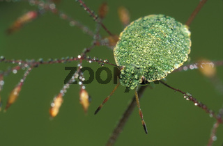Gruene Stinkwanze, Gemeine Stinkwanze, Palomena prasina, Green shield bug