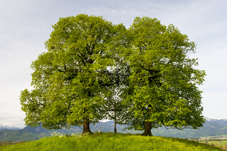 Doppelbaum Linde mit Feldkreuz