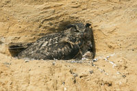 gathering its offspring... Eurasian Eagle Owl *Bubo bubo* with chick