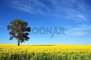 Canola Fields in Central West NSW