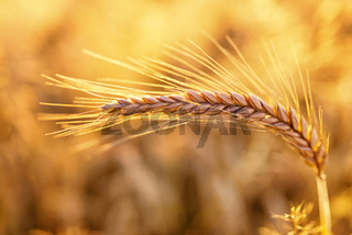 Barley - one shining golden ear of corn on barley field