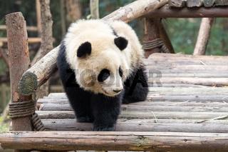 panda baby closeup