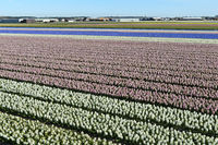 Cultivation of hyacinths for the production of flower bulbs, Noordwijkerhout, Netherlands