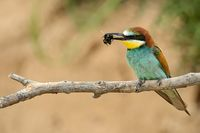 bee-eater on a branch with prey