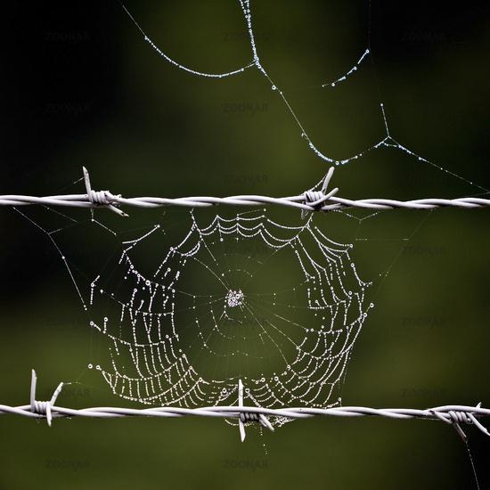 barbed wire and spider web, Bruehl, North Rhine-Westphalia, Germany, Europe
