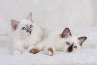 SACRED CAT OF BIRMA, BIRMAN CAT, LITTER, BLUE-POINT, SEAL-POINT,
