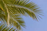 Palm tree - plant and symbol of tropical areas